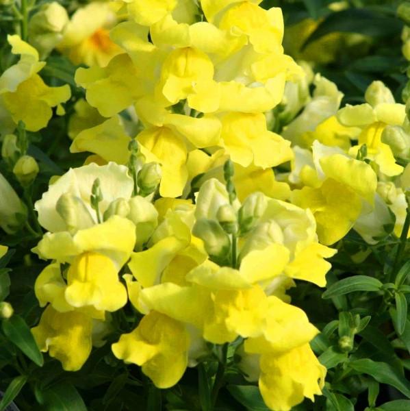 Снеппі F1 жовтий (yellow) насіння антірінума карликового (Hem Genetics) 100 шт
