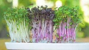 Семена на микрозелинь