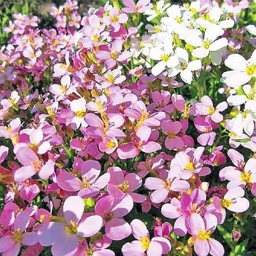 Весняний шарм насіння арабісу (Hem Zaden)