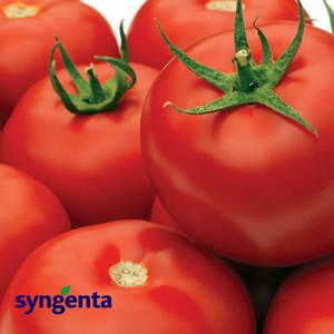 Семена томата Гравитет F1, 10 сем — ранний (63-68 дн), красный, полудетерминантный, круглый, Syngenta, фото 2