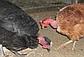 Яйцо Испанка чёрная, фото 3