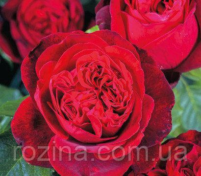 """Саджанці троянди """"Адмирал"""""""