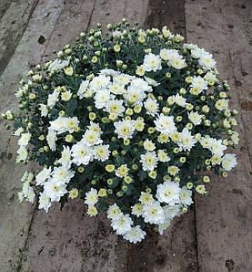Саджанці Хризантема розсада ампельна Multiflora Skyfall White касета (100шт)