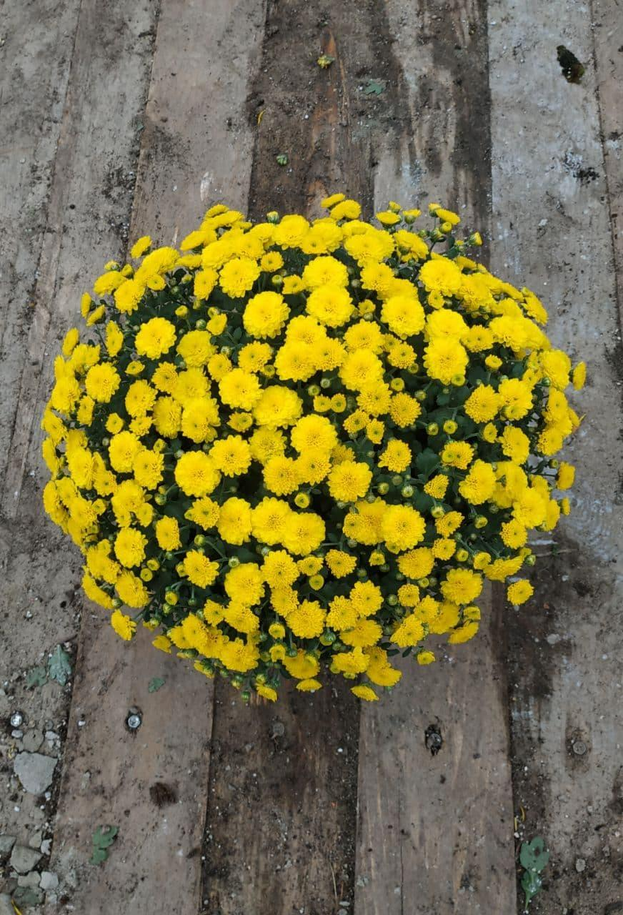 Саджанці Хризантема рассада ампельна Multiflora Skyfall Yellow касета (100шт)