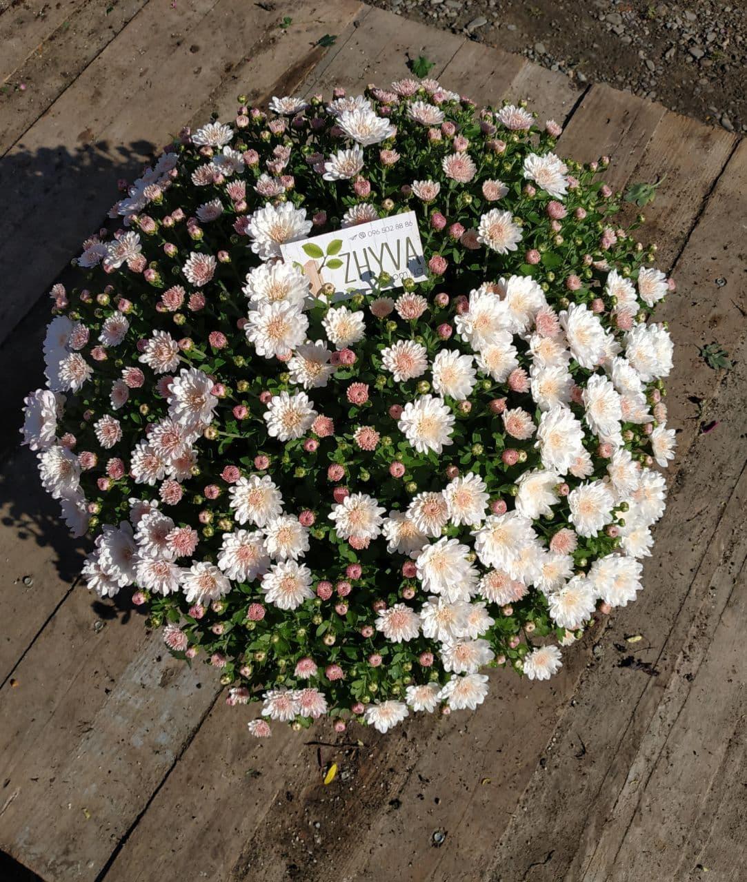 Саженцы Хризантема рассада Multiflora Afterglow Fresh White кассета (100шт)