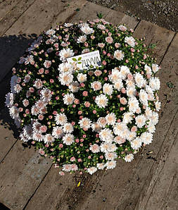 Саджанці Хризантема розсада Multiflora Afterglow Fresh White касета (100шт)