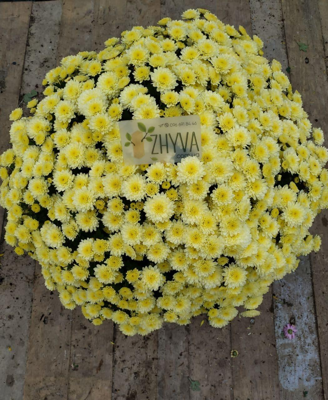 Саджанці Хризантема рассада Multiflora Jasoda Yellow касета (100шт)