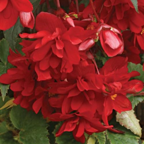 Шансон F1 темно-червона насіння бегонії (Cerny)