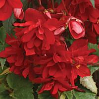 Шансон F1 темно-червона насіння бегонії (Cerny), фото 1