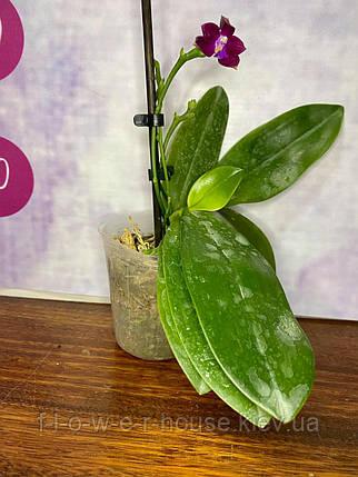 Невероятный восковой Phal. Valentinii × tetraspis 'C1', фото 2