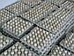 Яйцо бройлера  Польша маркированое Росс708, фото 4