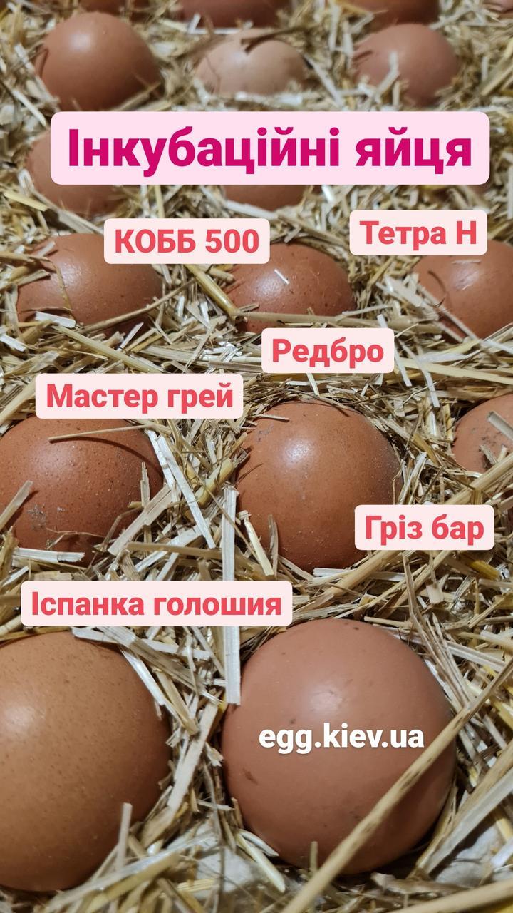 Редбро яйца инкубационное