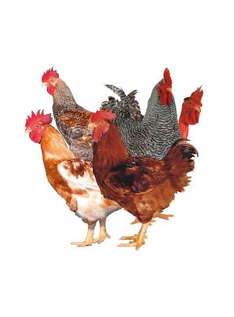 Яйца инкубационные Редбро