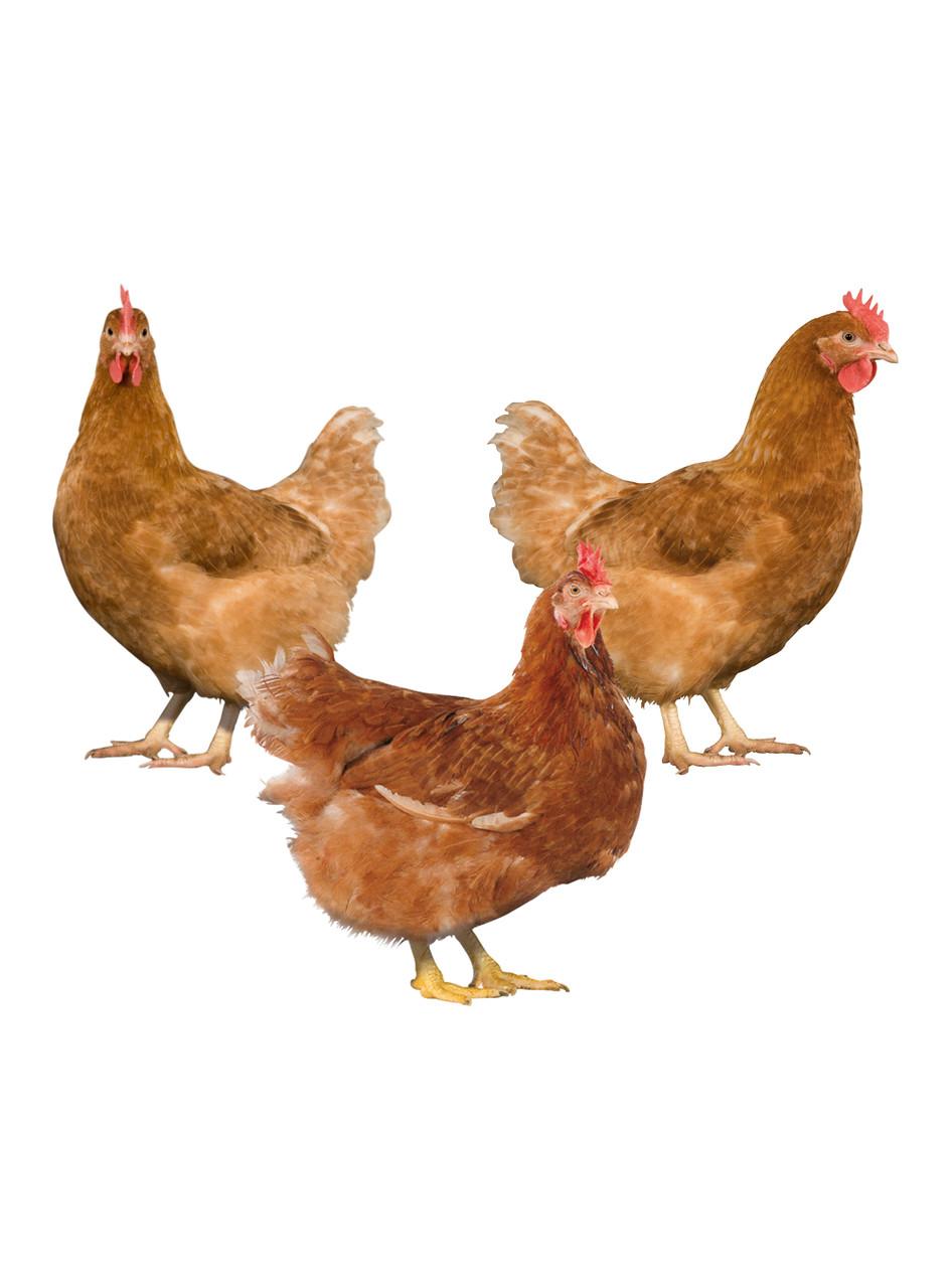 Яйца мясояичного направления Редбро