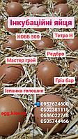 Яйца для инкубатора мясояичных кросов с Франции