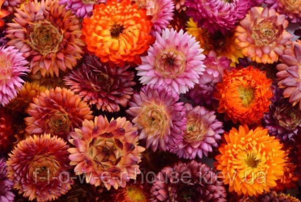 Гелихризум Крупноцветковый смесь 0.3 г, фото 2