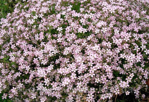 Гипсофила Розовая 1 г, фото 2
