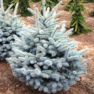Саженцы Ель колючая Глаука Мисти Блю (Picea pungens Glauca Misty Blue)
