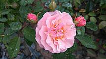 Роза Корнелия (Cornelia) Шраб, фото 2