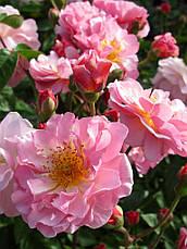 Роза Корнелия (Cornelia) Шраб, фото 3