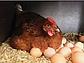 Яйцо инкубационное Фарма Колор, фото 2