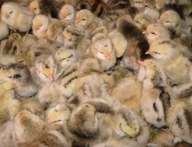Цыплята мастергрей суточные