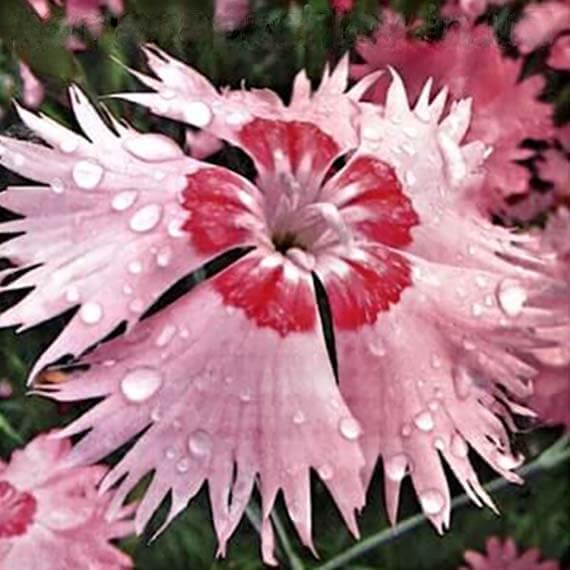Рожевий Амур насіння гвоздики амурської (Hem Zaden)