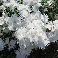 Супра F1 біла (white) насіння гвоздики міжвидової (Hem Genetics)
