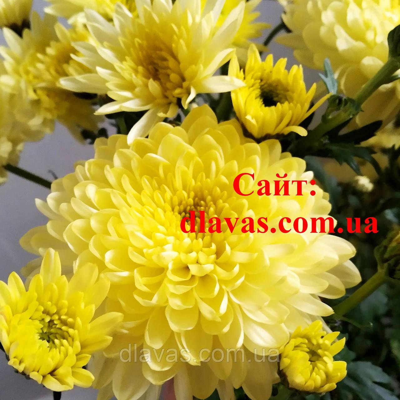 Хризантема крупноцветковая срезочная Зембла КРЕМ