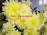 Хризантема крупноцветковая срезочная Зембла КРЕМ, фото 2