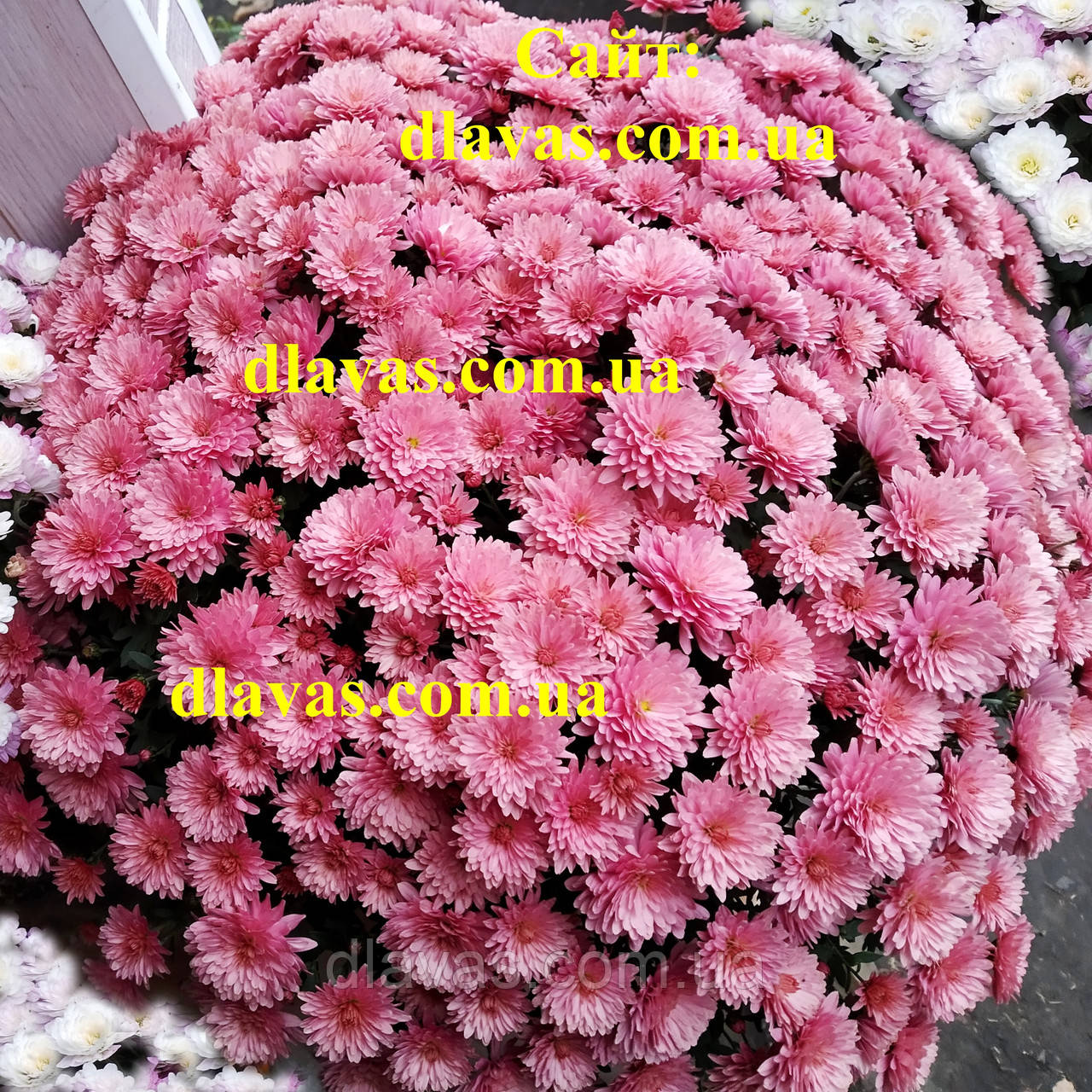 Купить хризантему  мультифлора КОРРАЛ БРАН-БРАНИ