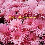 Купить хризантему  мультифлора КОРРАЛ БРАН-БРАНИ, фото 2