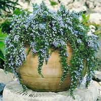 Розмарин ампельный Ривьера (Rosmarinus officinalis Rivera)(Контейнер С1,2л)