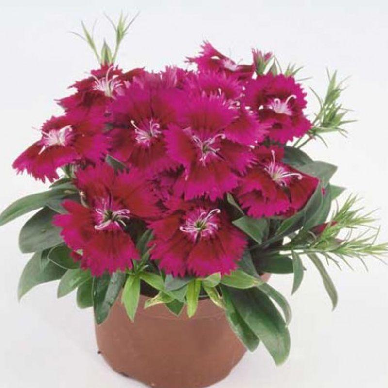 Чіба F1 (Чібо F1) пурпурна (purple) насіння гвоздики міжвидової (Hem Genetics) 100 шт