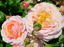 Роза Элизабет Стюарт (Elizabeth Stuart) Шраб, фото 3