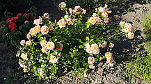 Роза Элизабет Стюарт (Elizabeth Stuart) Шраб, фото 2