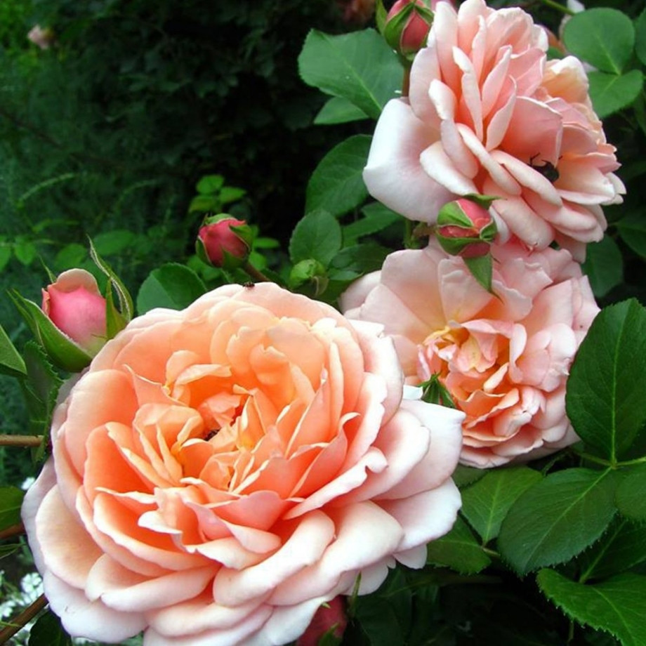 Роза Элизабет Стюарт (Elizabeth Stuart) Шраб
