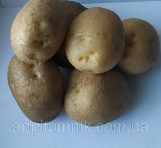 Картопля Зоряна (по 5 кг)