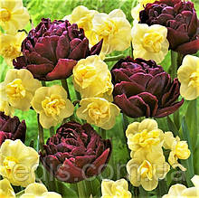 Набір цибулин квітів Шоколадно-золотий 6 цибулин (тюльпани махрові, нарциси мультифлора)