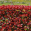 Фотінія Фразера Carre Rouge 2 річна, Фотиния Фразера Карре Руж, Photinia fraseri Carre Rouge, фото 5