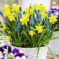 Набор луковиц цветов Солнечные зайчики 8 луковиц (нарциссы, мускари)