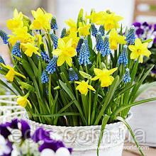 Набір цибулин квітів Сонячні зайчики 8 цибулин (нарциси, мускарі)