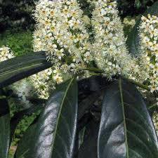 Лавровишня лікарська Herbergii 2 річна, Лавровишня лекарственная Херберги, Prunus laurocerasus Herbergii, фото 3