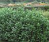 Лавровишня лікарська Herbergii 2 річна, Лавровишня лекарственная Херберги, Prunus laurocerasus Herbergii, фото 4
