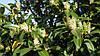 Лавровишня лікарська Herbergii 2 річна, Лавровишня лекарственная Херберги, Prunus laurocerasus Herbergii, фото 6