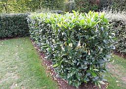 Лавровишня лікарська Herbergii 2 річна, Лавровишня лекарственная Херберги, Prunus laurocerasus Herbergii, фото 2