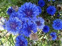 Василёк синий  (цвет),  25г