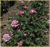 Клод Брассер (среднее качество), фото 2