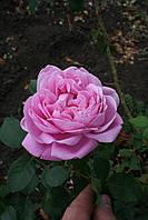 Мери Роуз (среднее качество), фото 4