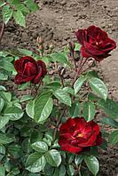 Маликорн (среднее качество), фото 3